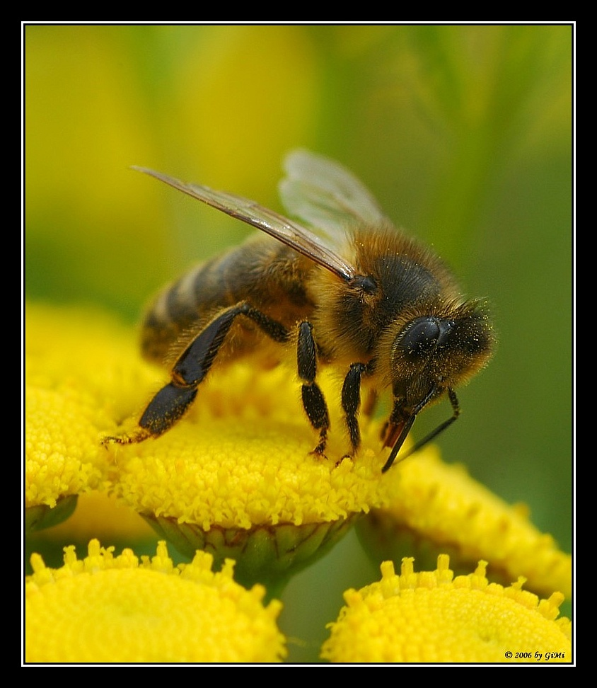 Bee on golden tansy by GiMi53