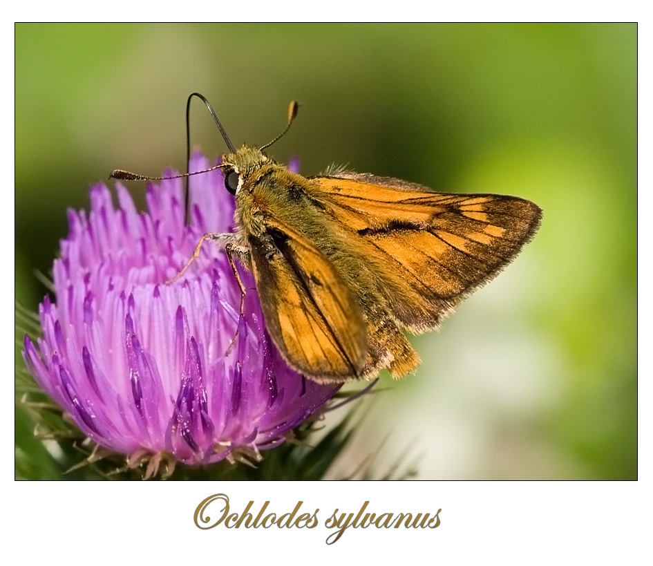 Large Skipper by Onslow