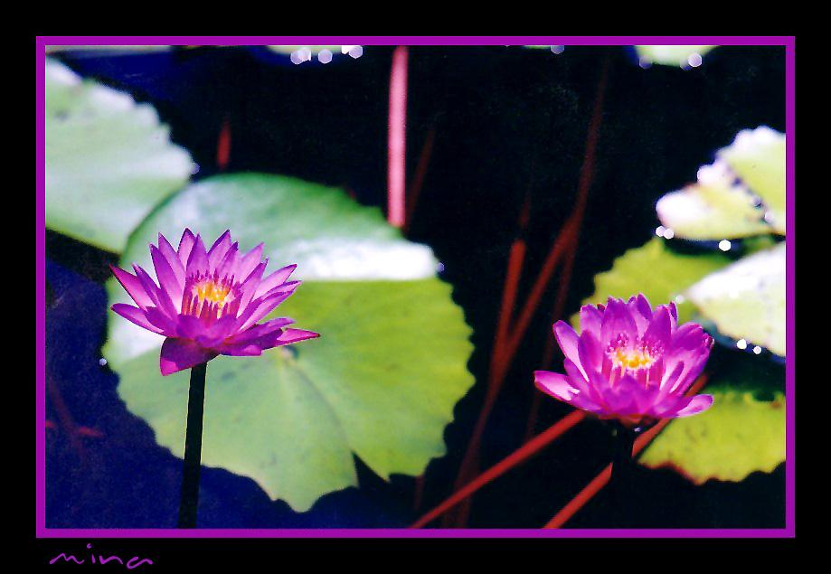 *  Water Lily  * ( For TwoPynts) by NekhbetSun