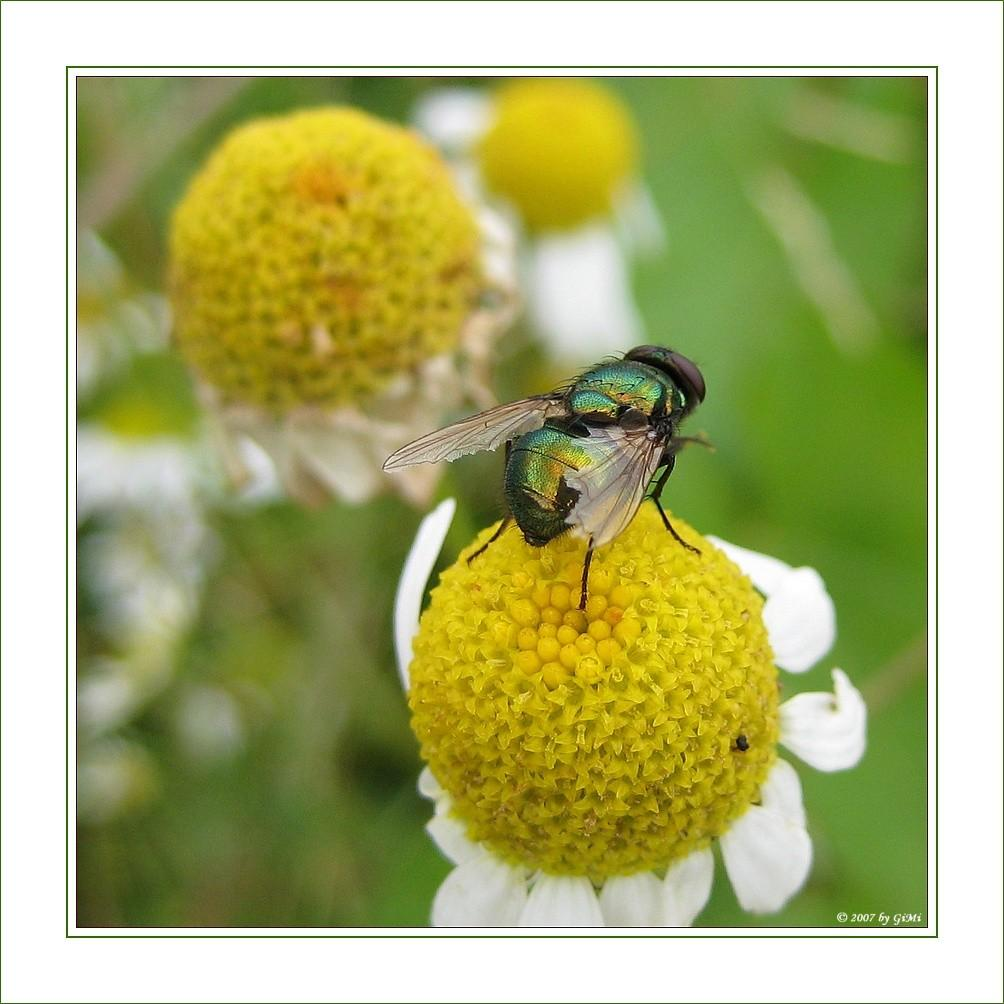 Green Blow-fly by GiMi53