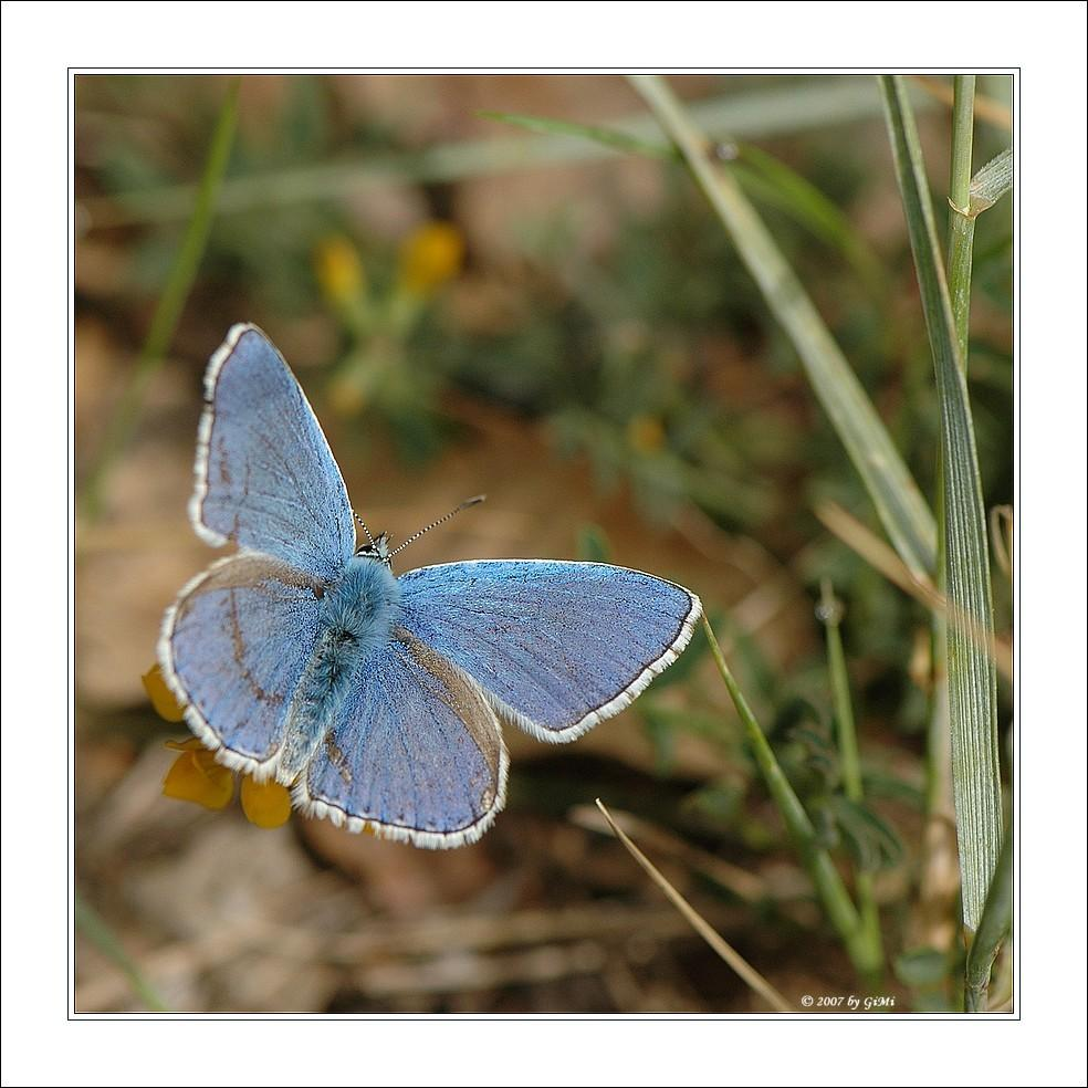 Common Blue by GiMi53
