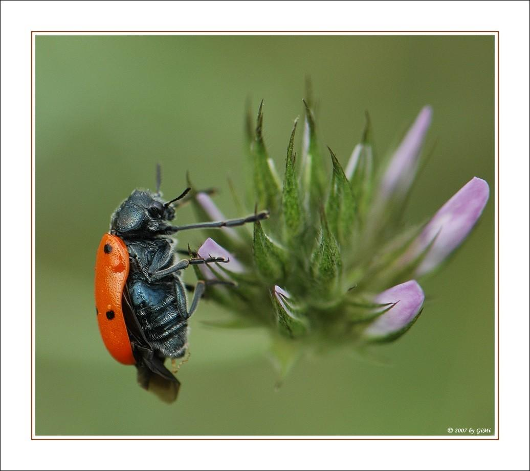 Coleoptera by GiMi53