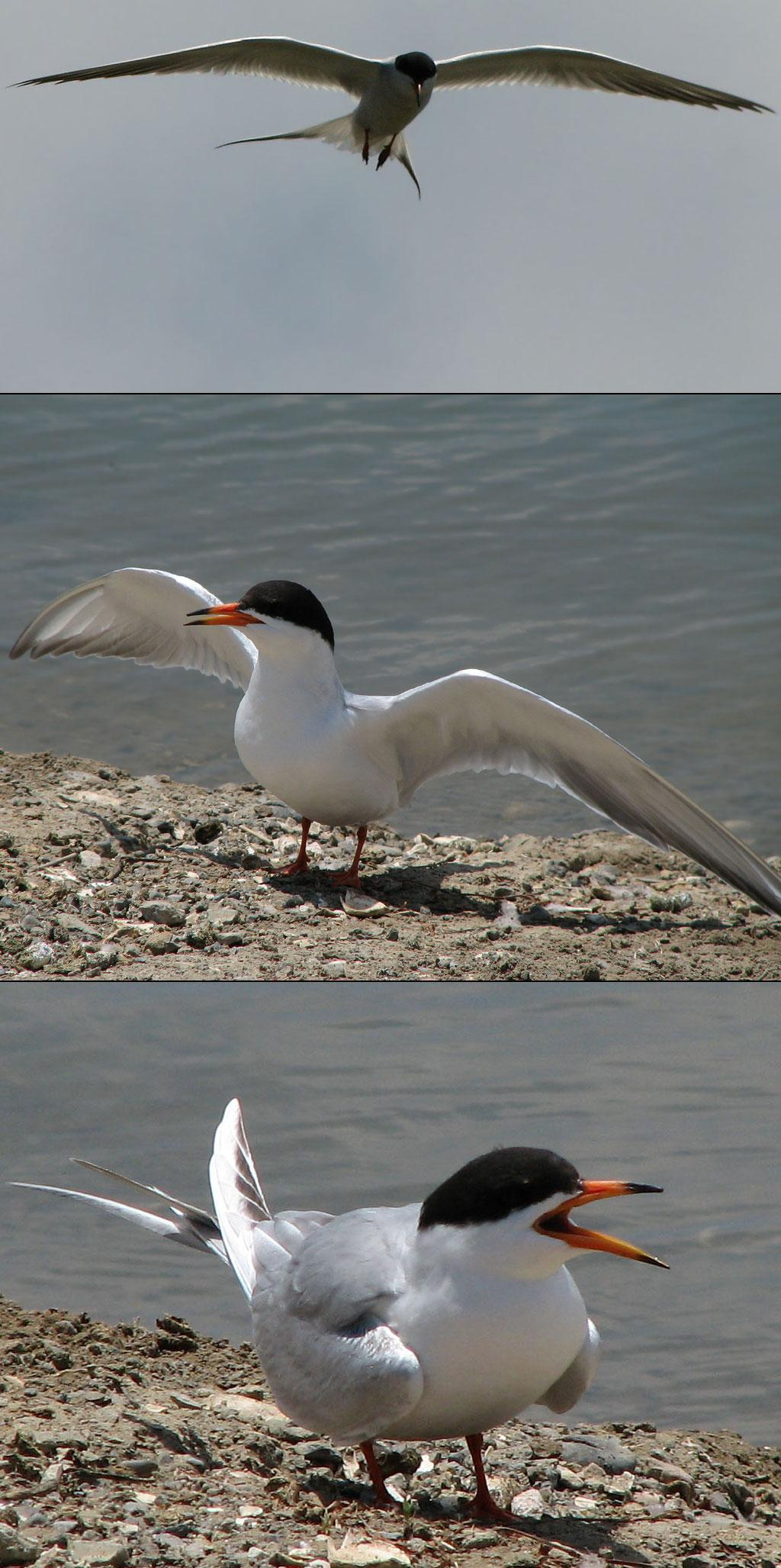 Forster's Tern by nelsone