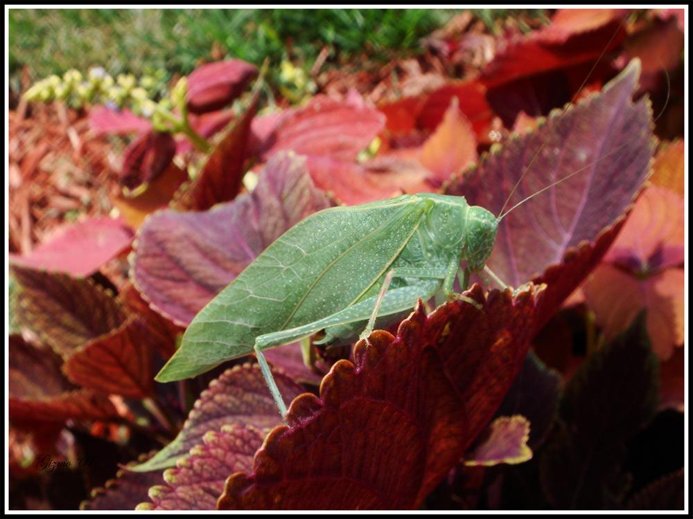 A Conspicuous Katydid by gizmo563