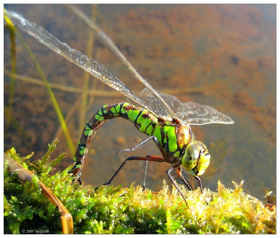 first dragonfly around our new pond ! by GiMi53
