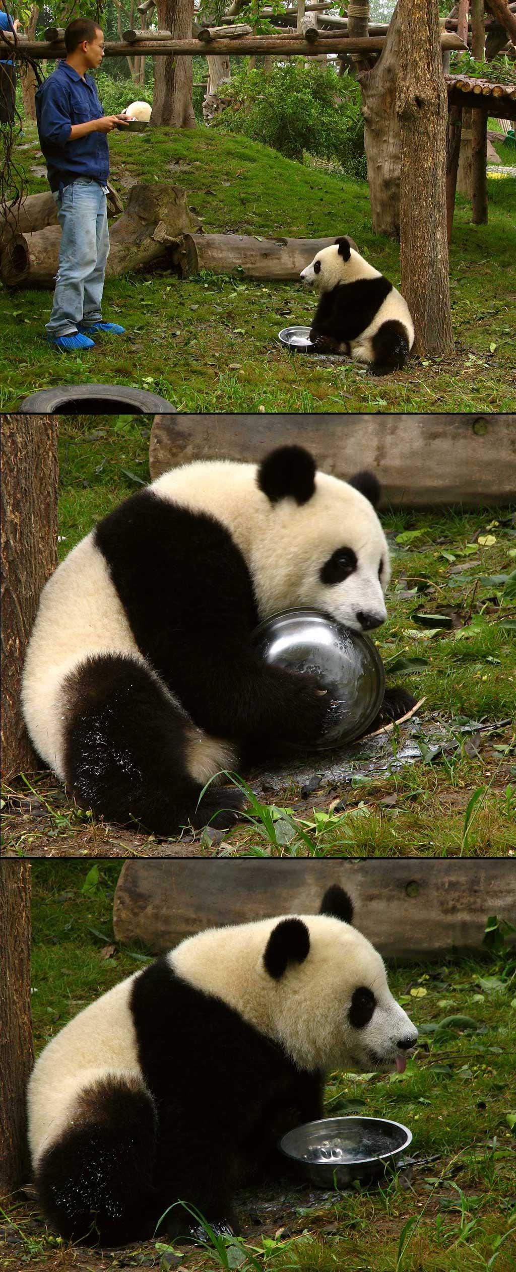 Panda Cubs by nelsone