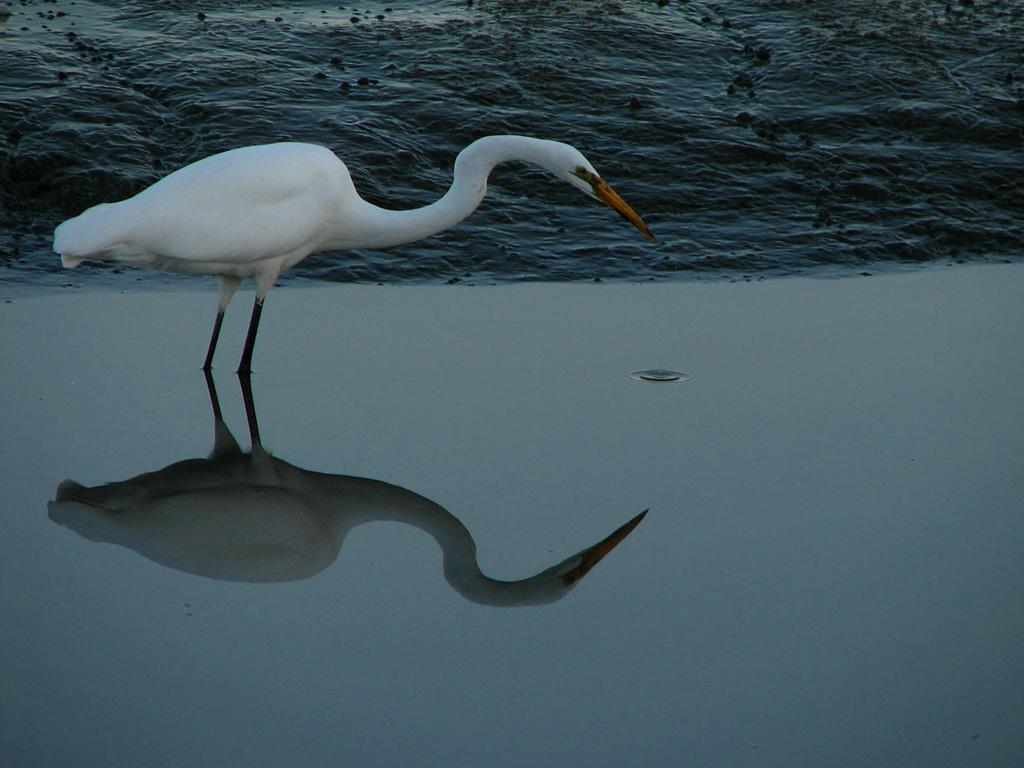 Tao of Egret by nelsone