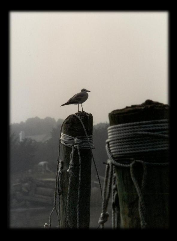 Gull on Piling - Ocracoke #1 by skiwillgee