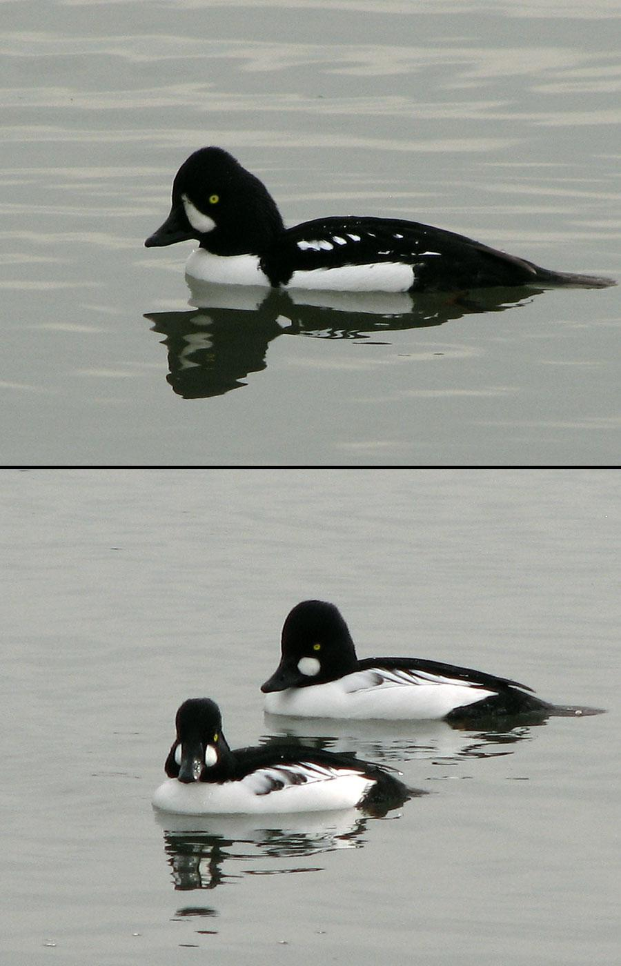 A Tale of Two Goldeneyes - or three, actually by nelsone