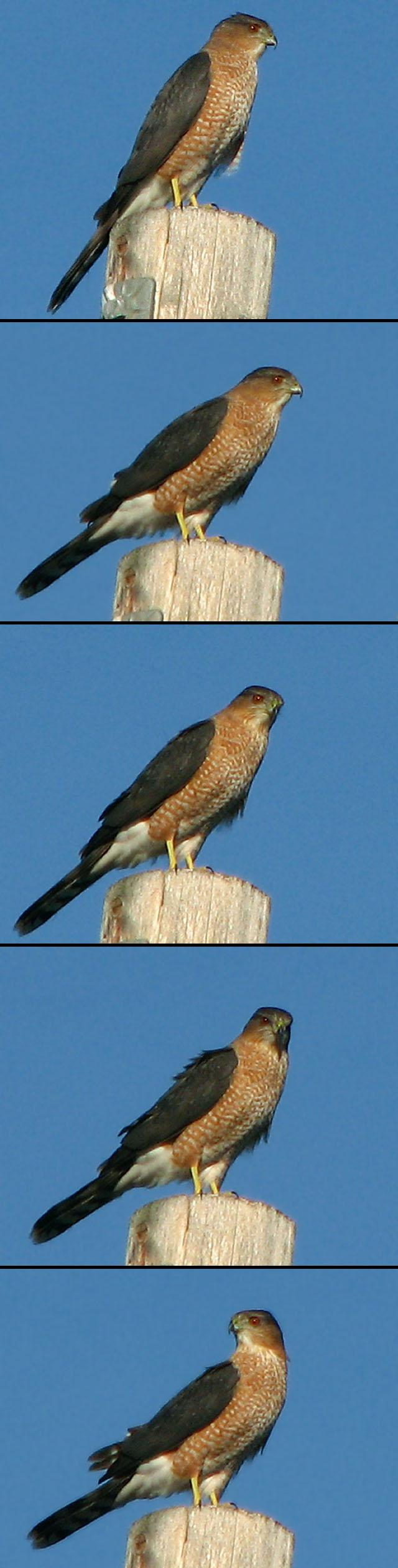 Cooper's Hawk Collage by nelsone