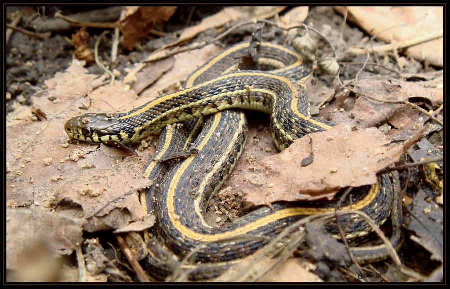 Thamnophis sirtalis by gizmo563