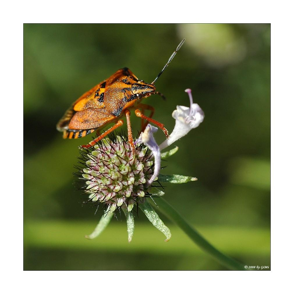 Shield bug by GiMi53