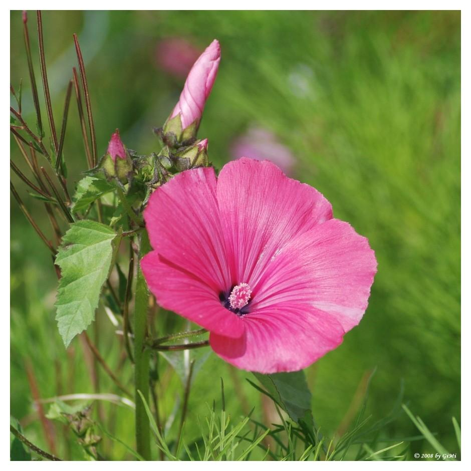 Rose Mallow (Lavatera) by GiMi53