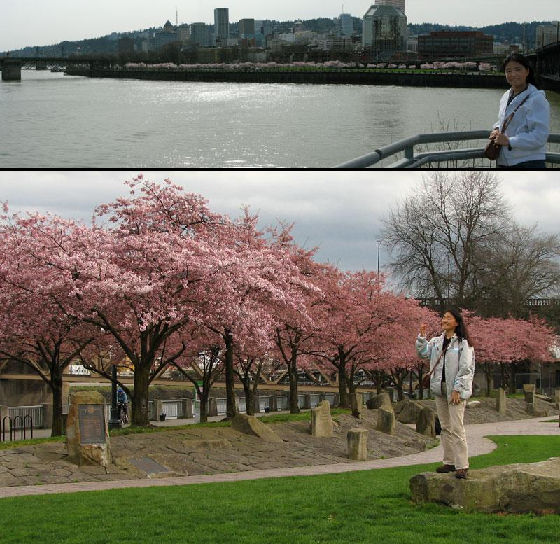 Cherry Blossoms along the Willamette by nelsone