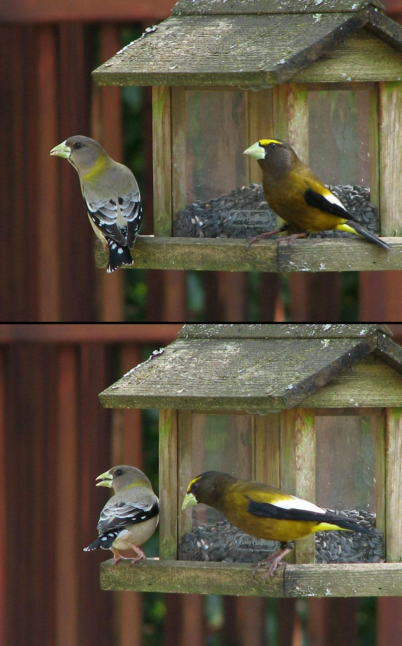 Evening Grosbeaks by nelsone