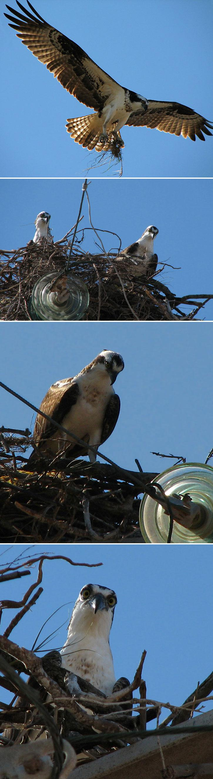 Mexican Osprey Collage