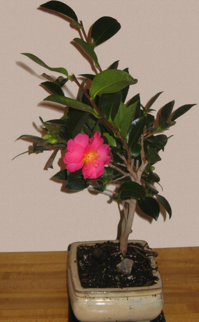 Camellia Bonsai By Shadowsntime Photography Flowers Plants