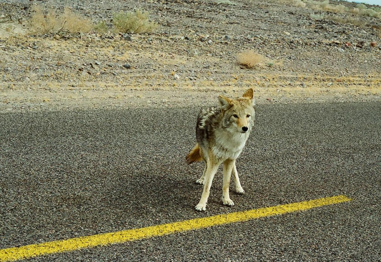 Death Valley - coyote by danapommet