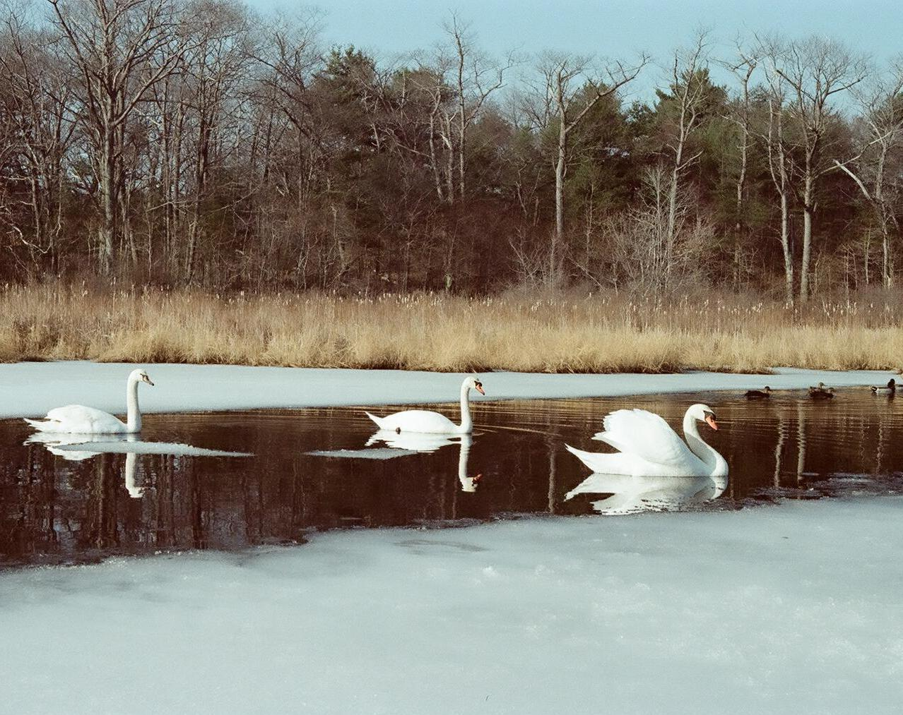 Swans: a love story part 5 by danapommet