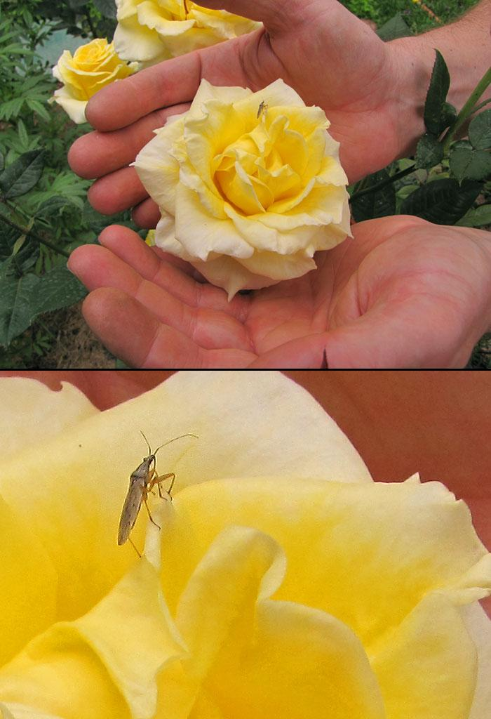 Sharing my roses with the locals by nelsone