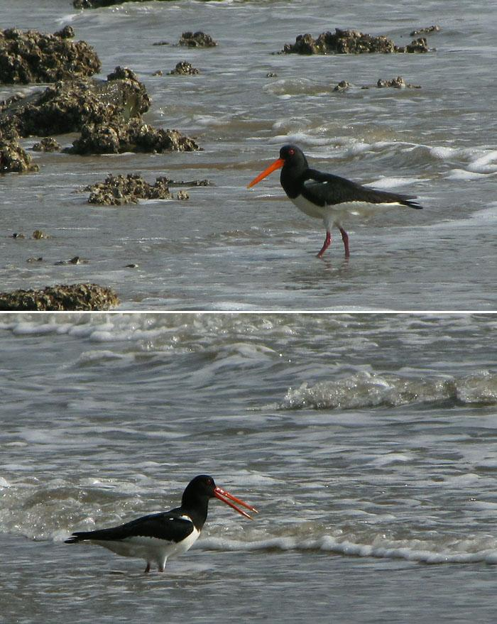 Asian Oystercatcher by nelsone