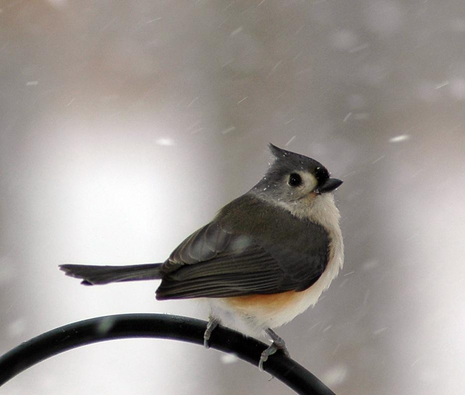 Tufted Titmouse by bevsphototreasures