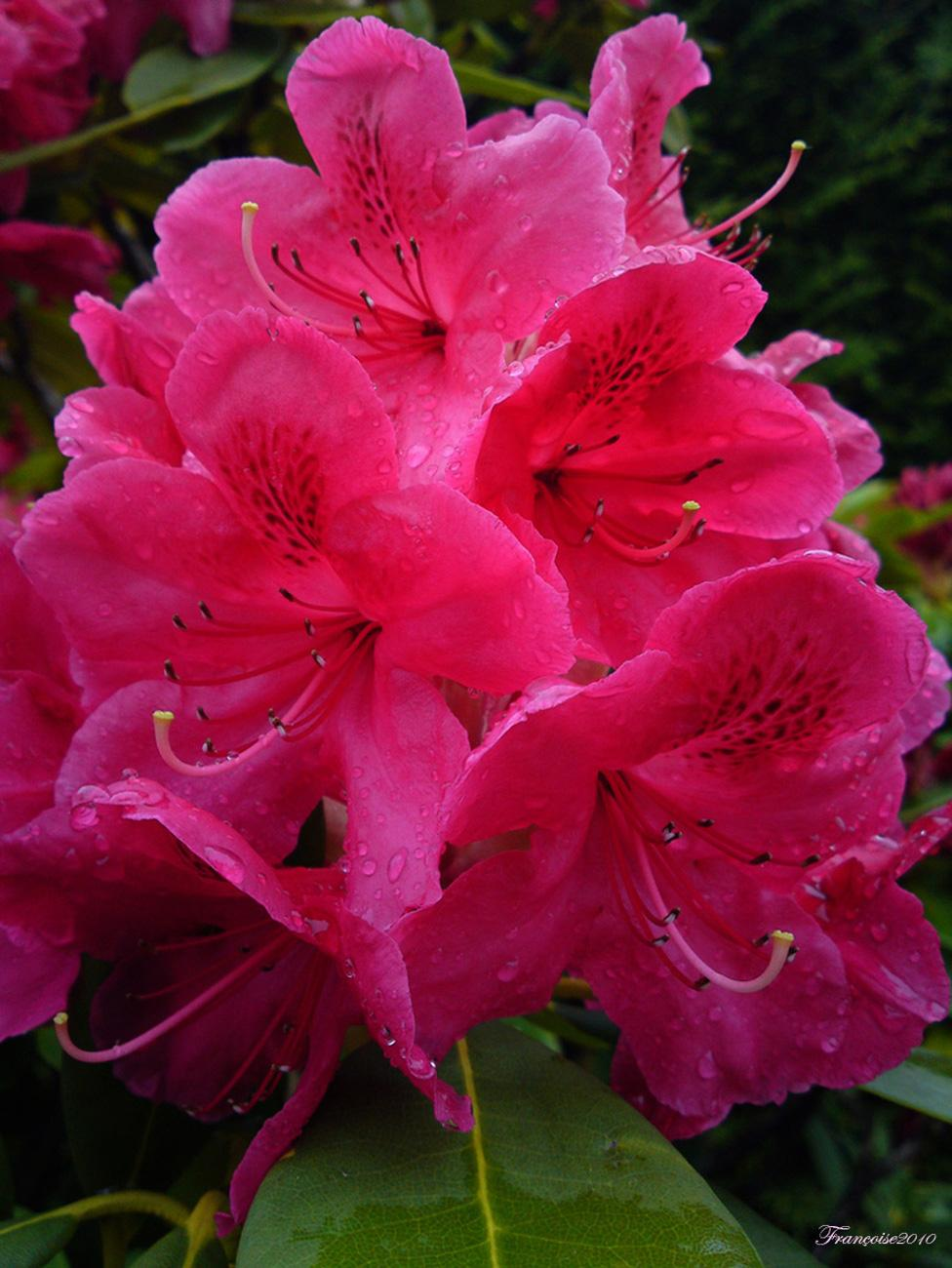Rhododendron Flower by madame