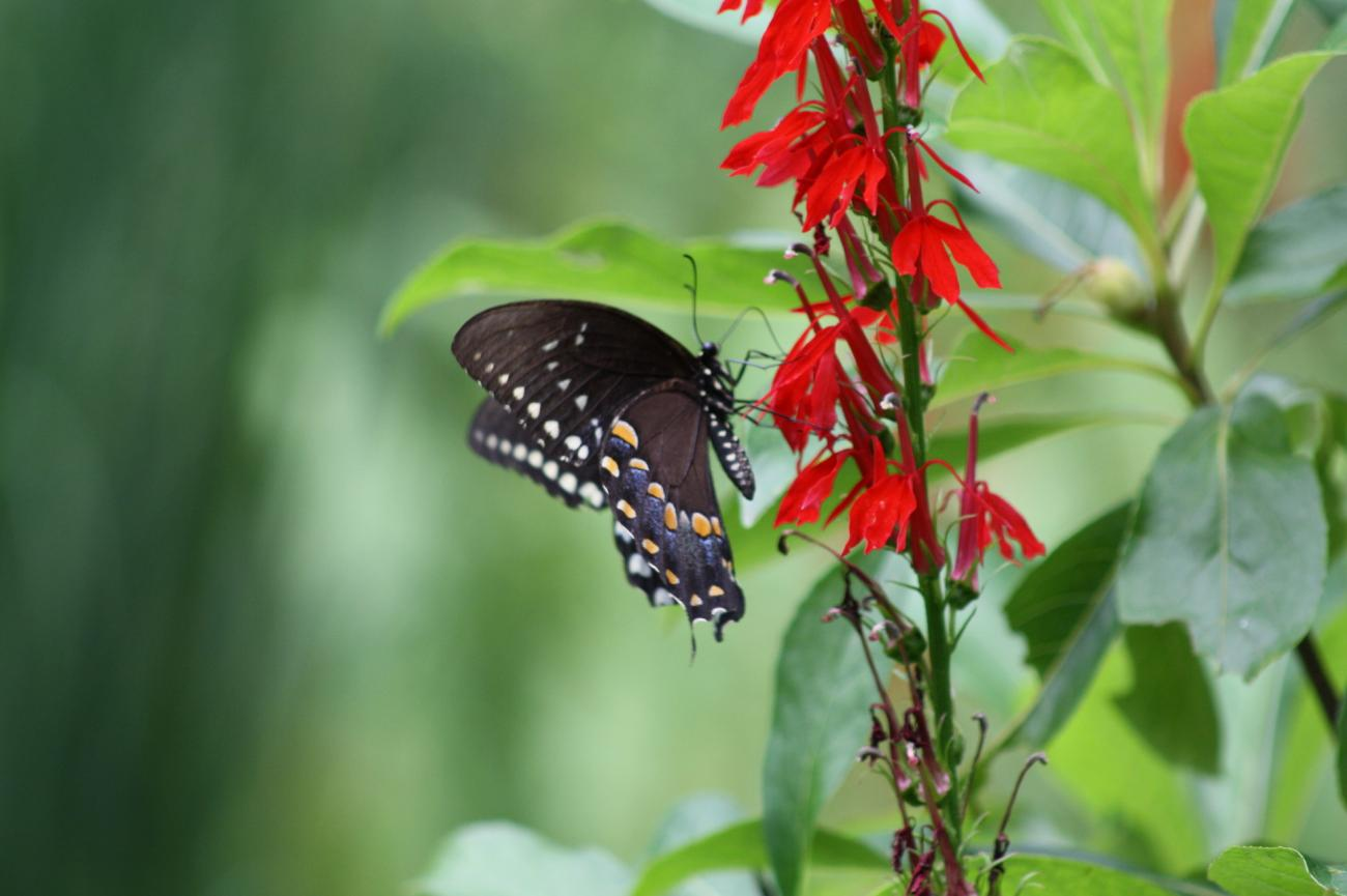 Swallowtail on Cardinal Flower  by danapommet