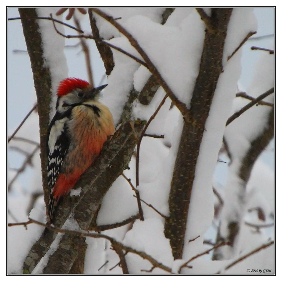 Middle Spotted Woodpecker by GiMi53