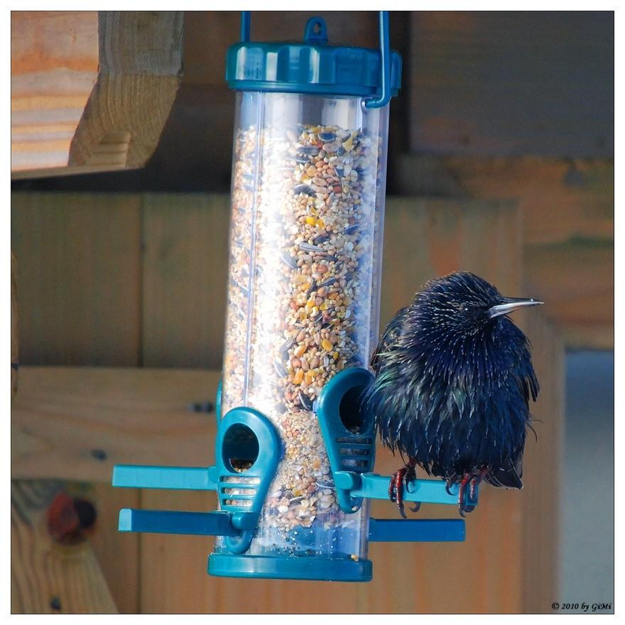 Starling at the feeder
