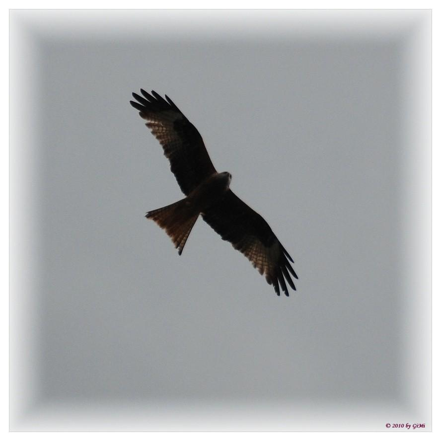 Red Kite by GiMi53