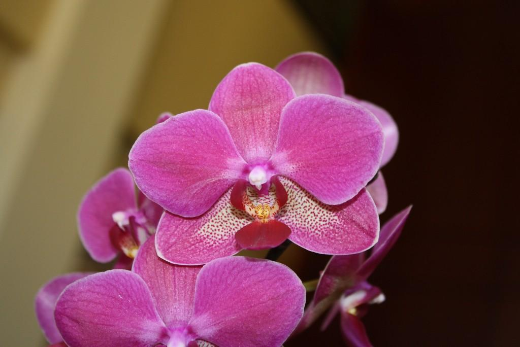 orchid for Michel (MickeyRony)
