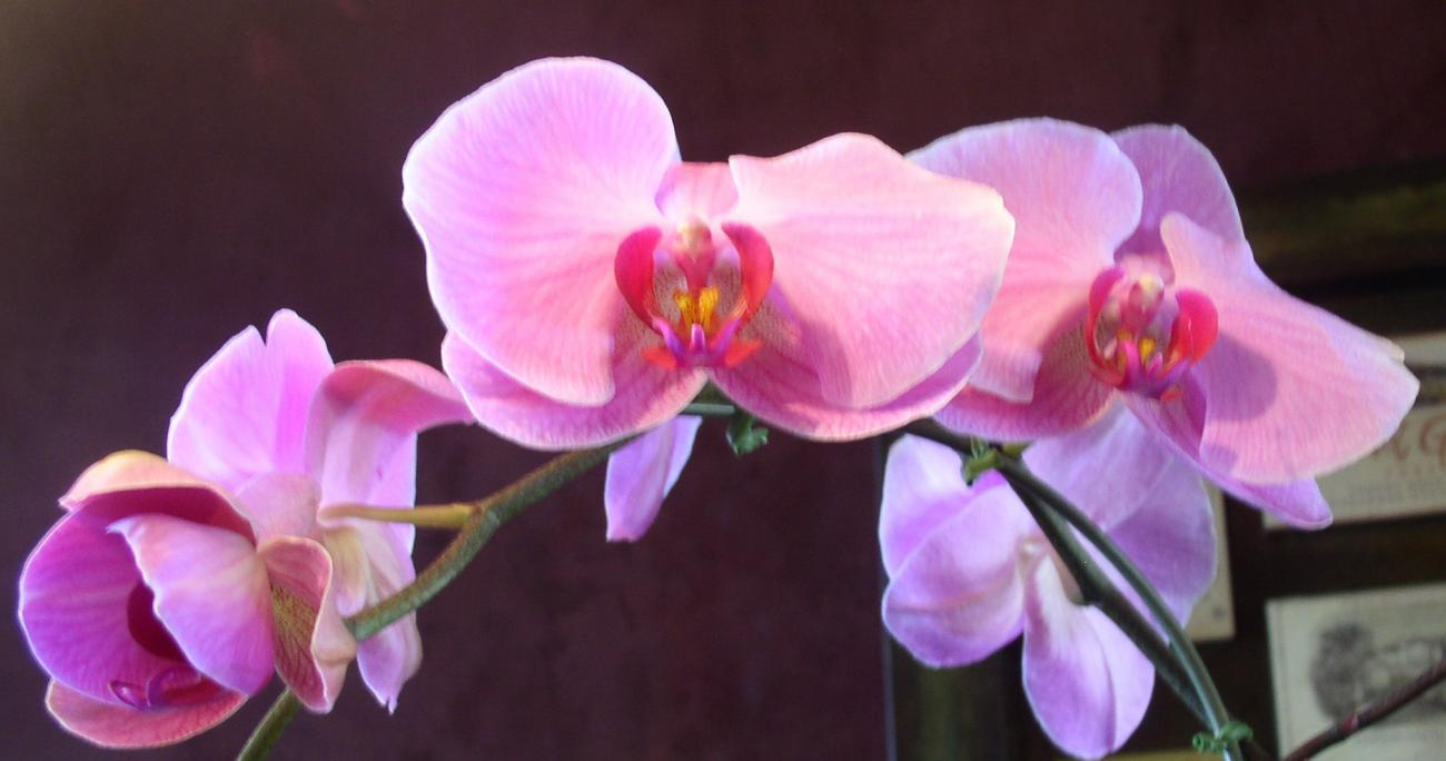Orchid Pink by blacq_nyght_vampyre