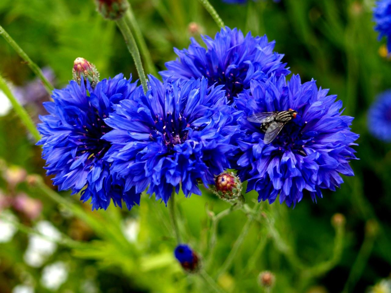 Cornflowers and fly.