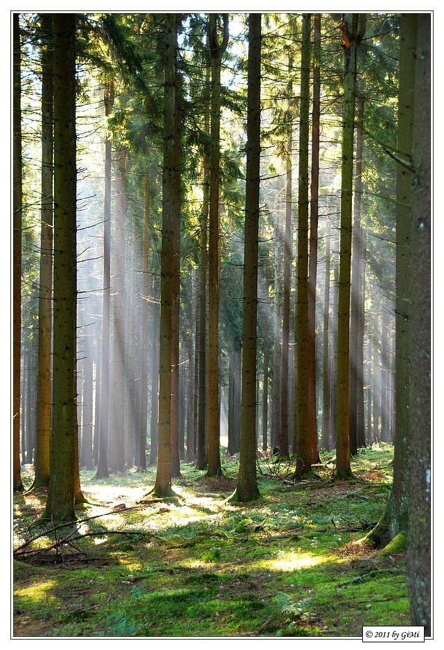 Light in the Forest