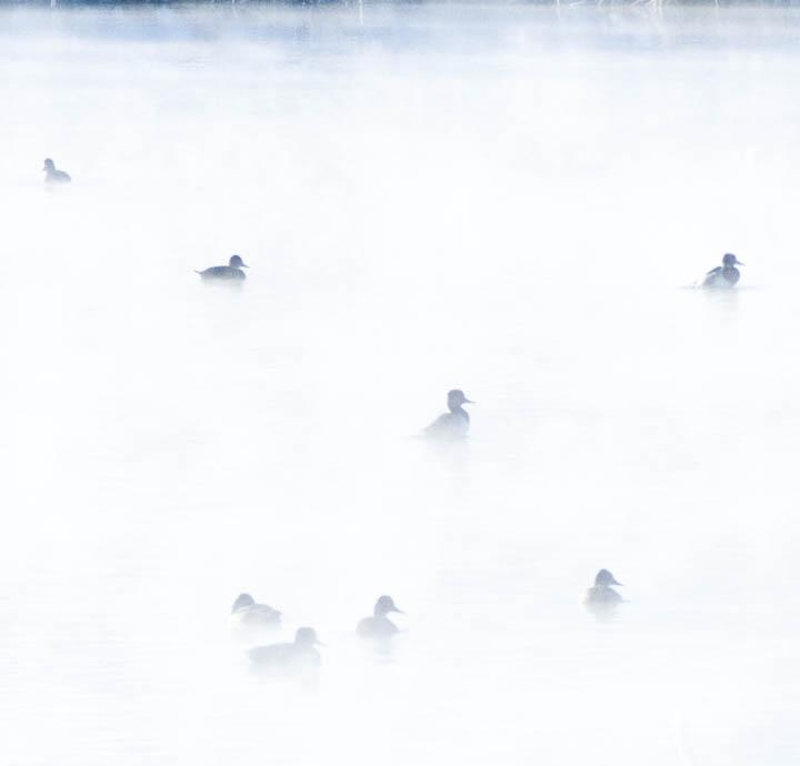 Ducks in the Steam