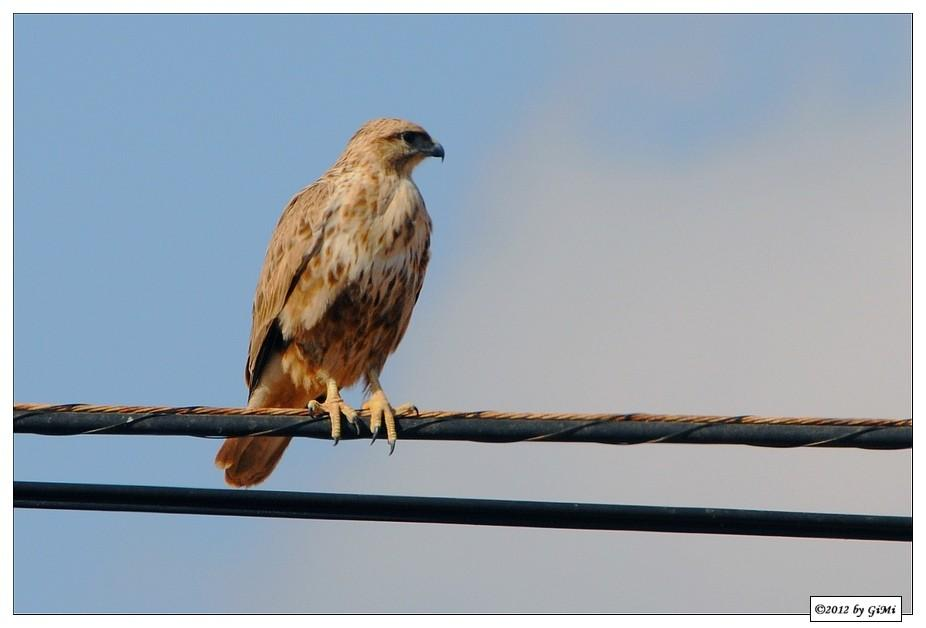 Birds on the wire (#1): Common Buzzard by GiMi53