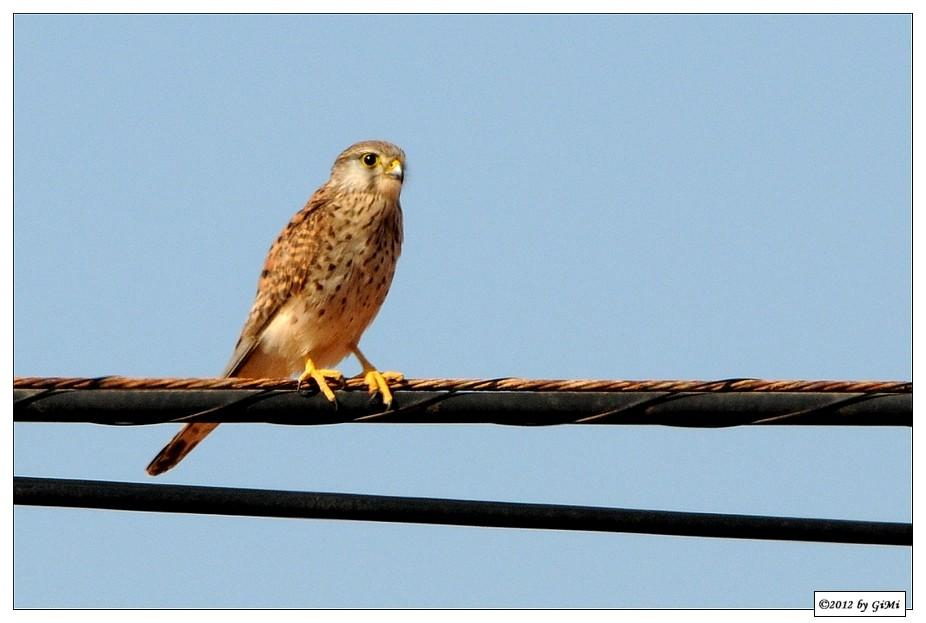 Birds on the wire (#2): Common Kestrel by GiMi53