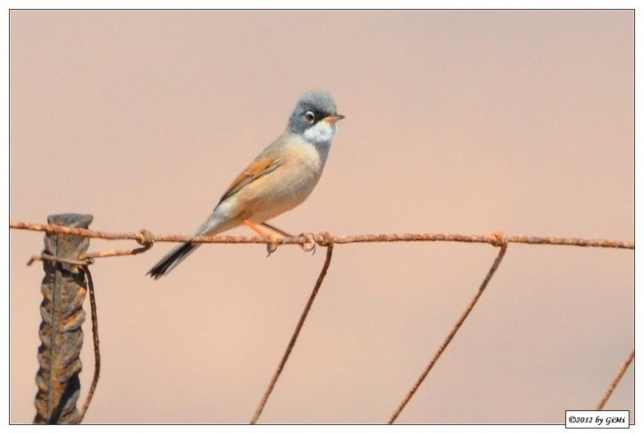 Birds on the wire (#3): Spectacled Warbler by GiMi53