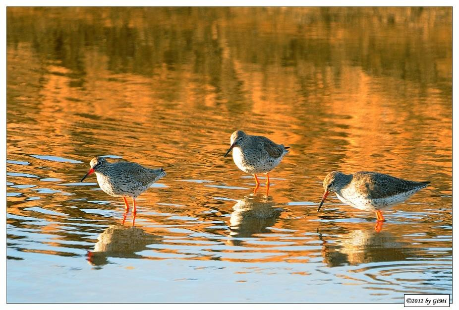 Redshanks - Chevaliers gambettes