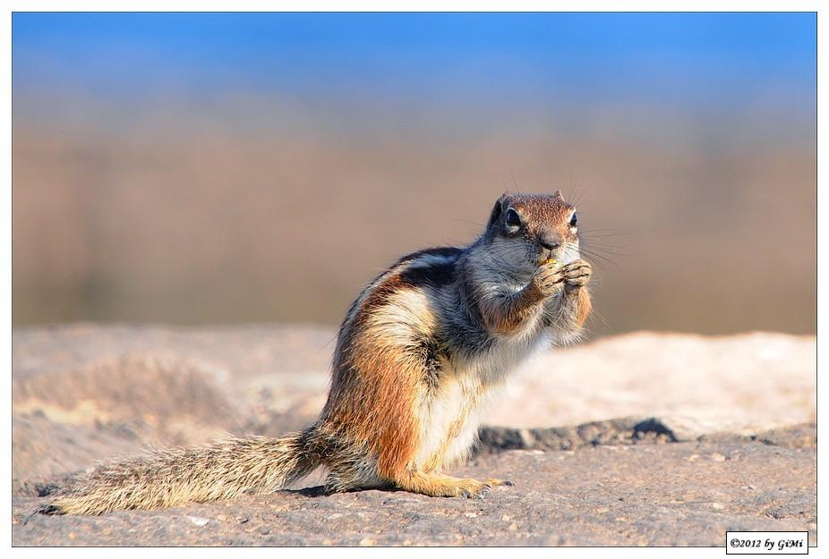 Barbary Ground Squirrel by GiMi53