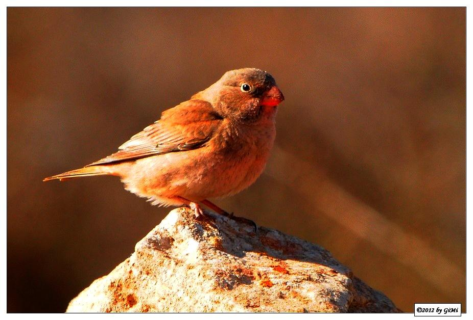 Trumpeter Finch - Roselin githagine. by GiMi53