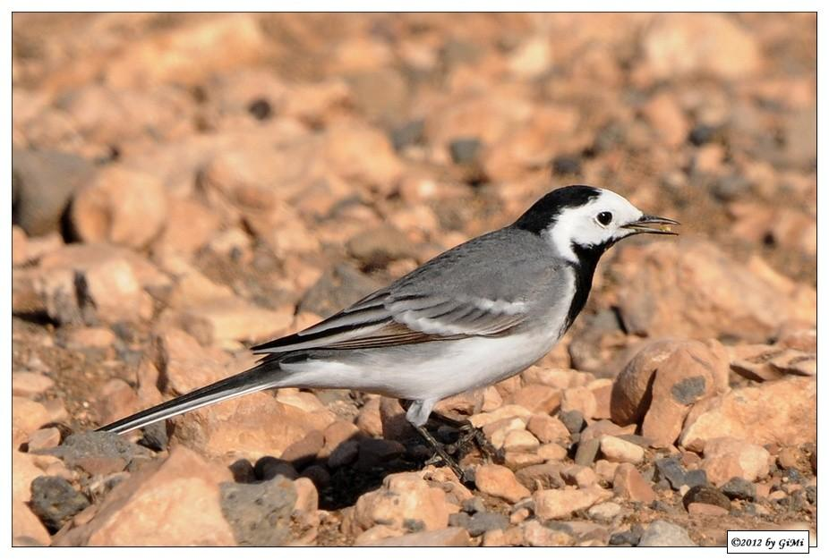 White Wagtail - Bergeronnette grise