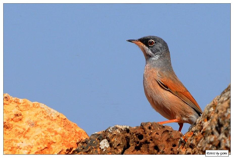 Spectacled Warbler - Fauvette à lunettes by GiMi53
