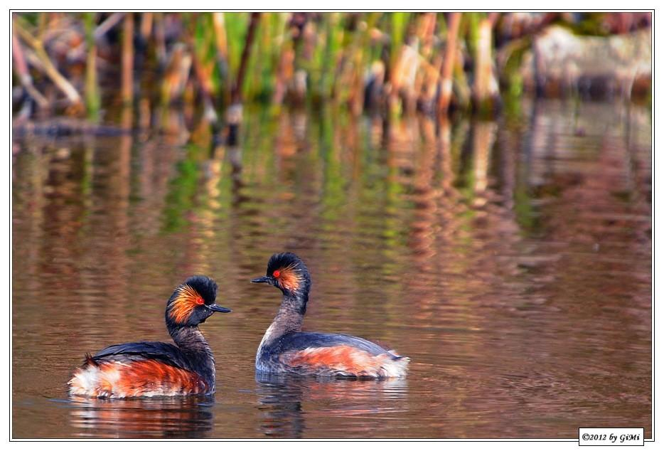 Black-necked Grebes by GiMi53
