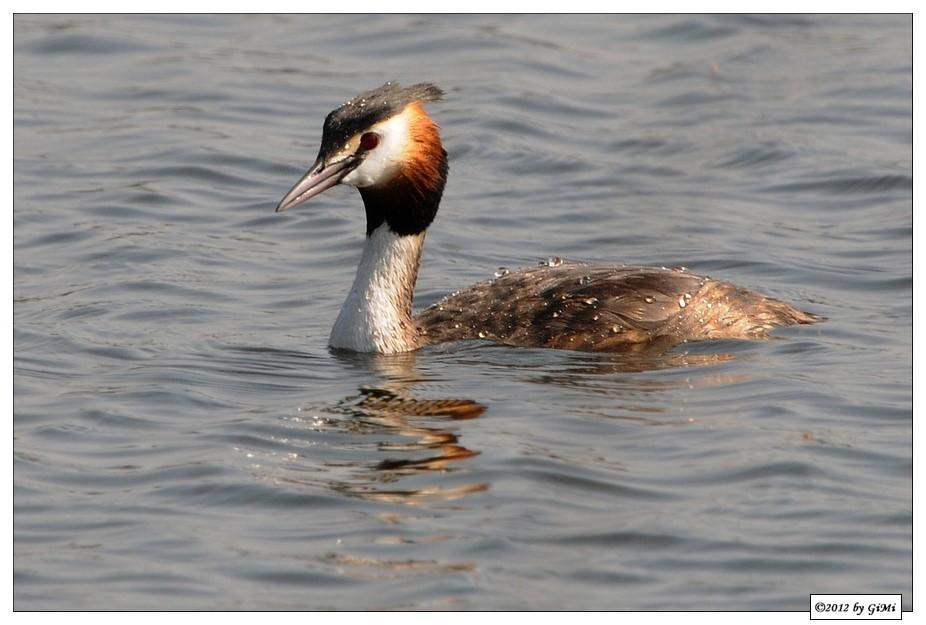 Another Grebe (Great Crested) by GiMi53
