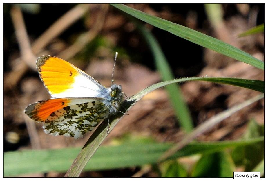 Orange Tip - Aurore (mâle) by GiMi53
