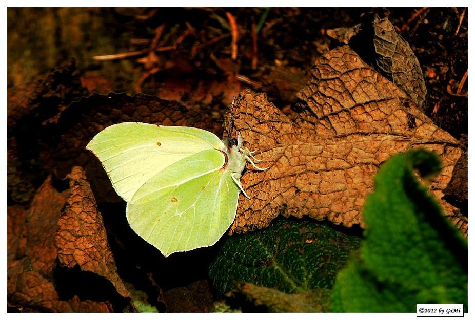 Brimstone - Citron by GiMi53