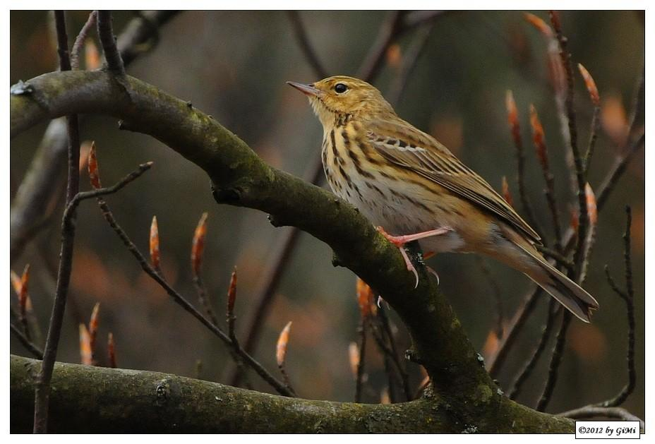 Tree Pipit by GiMi53