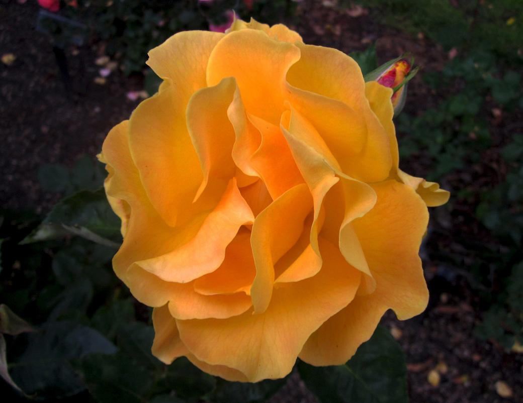 My rose for today #191 by goodoleboy